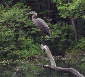 Heron at Lake Surprise, Union County NJ