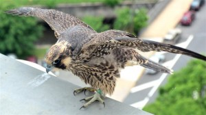A peregrine falcon fledgling gets ready to take flight from the Union County Courthouse
