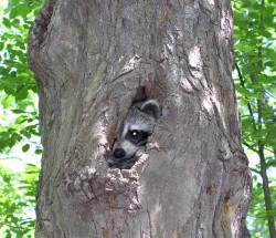 Spring in the Watchung Reservation is the perfect time to search for all of nature's treasures; like this raccoon napping in a tree cavity.  Adults, ages 18 and older, are invited to join Pete Bacinski, a former Audubon Naturalist, for a PowerPoint presentation A Naturalist's Diary that