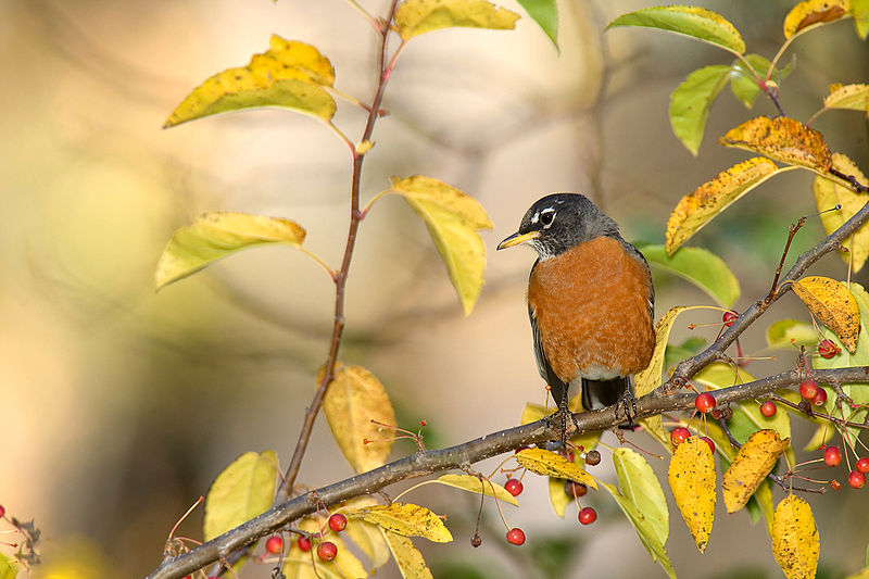 American Robin (photo from William H. Majoros)