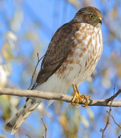Hawk - Photo courtset of James Ownby of Oklahoma